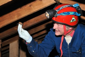 Sue Swift, bat surveyor with a Pipistrelle bat in the attic above Battley House, Tayside and Clackmannanshire Area. ©Lorne Gill/SNH